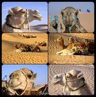 coole Kamele