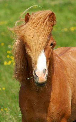 cooles Island Pferd