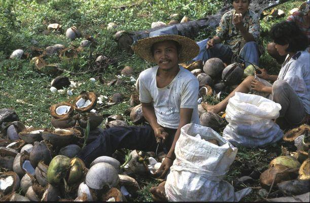 Copra-Herstellung (Rohstoff f. Kokosöl)