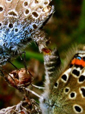 Copulation de papillons