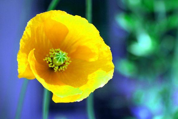 coquelicot...jaune