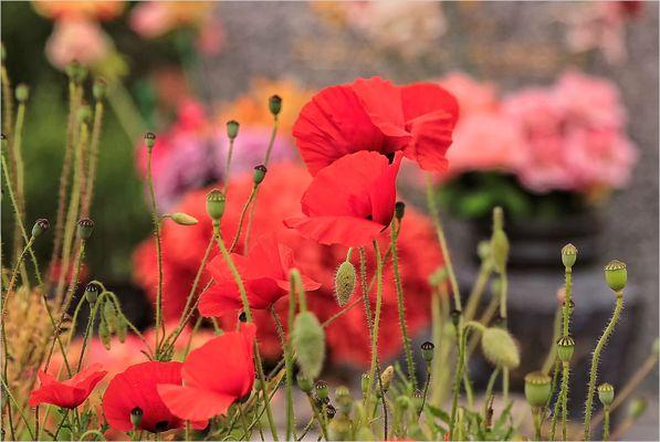 Coquelicots au cimetière de Léognan.30.05.16