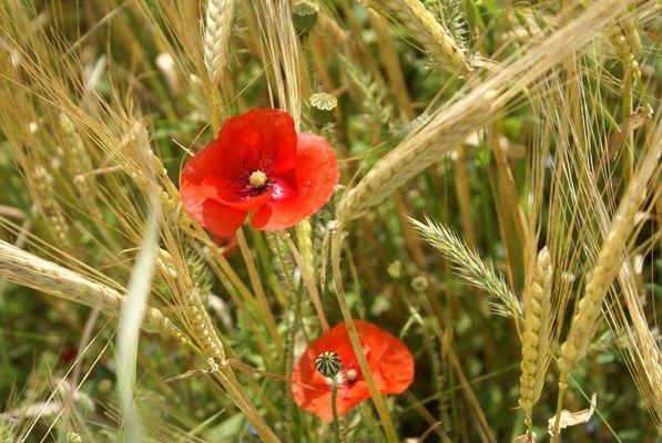 Coquelicots dans les blés