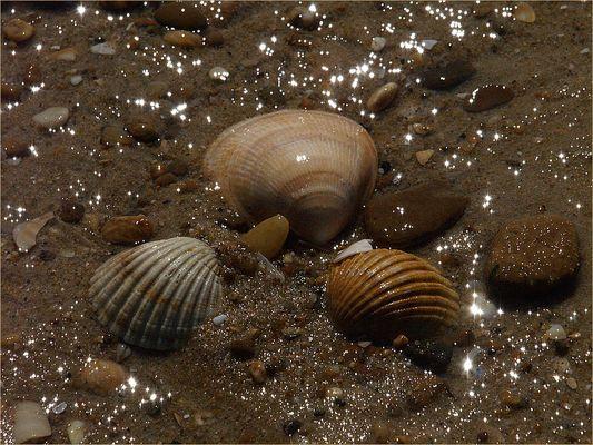 Coquillages en bord de mer - Muscheln am Strand