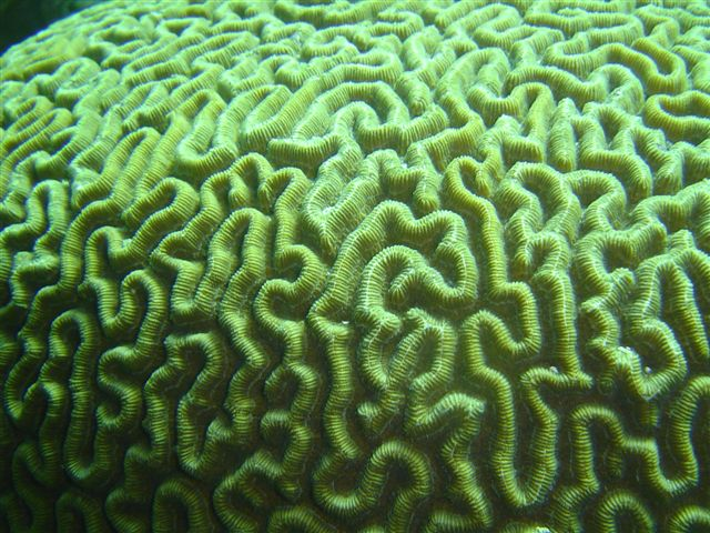 Corail cerveau / Brain coral