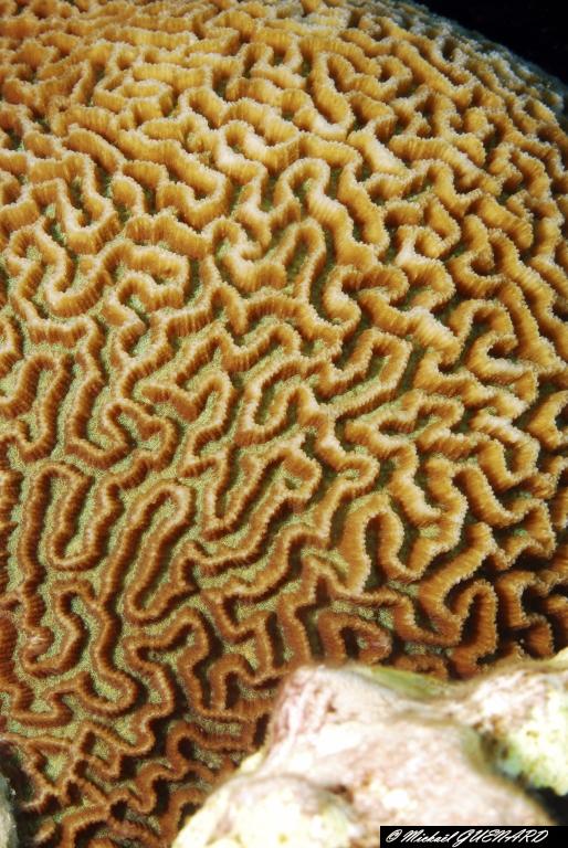 Corail cerveau