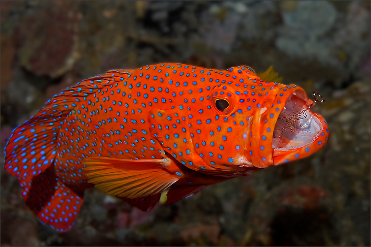 Coral grouper with shrimp