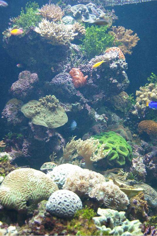 Corallen