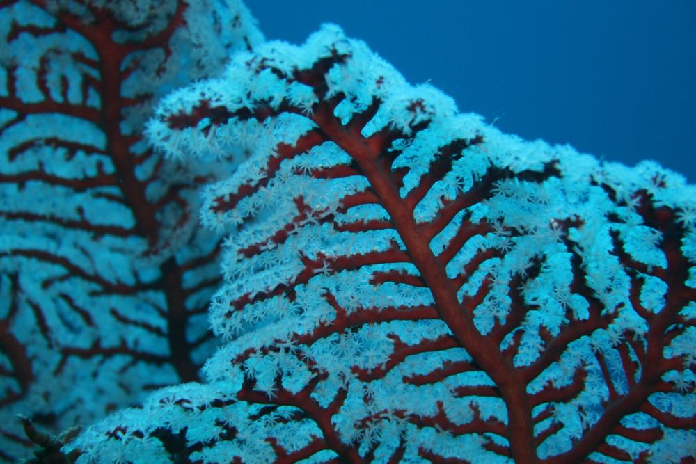 corallo in fiore