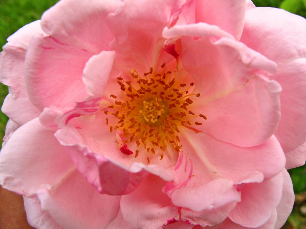 Corazón de una rosa