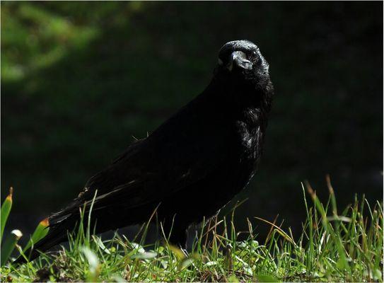 Corbeau, le face à face...