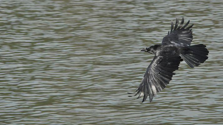 Corbeau volant au-dessus des eaux