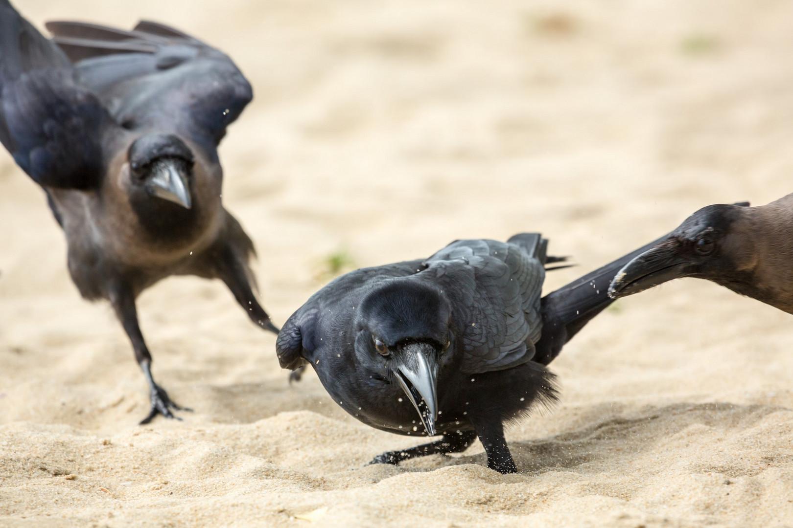 Corbeaux à Marari Beach