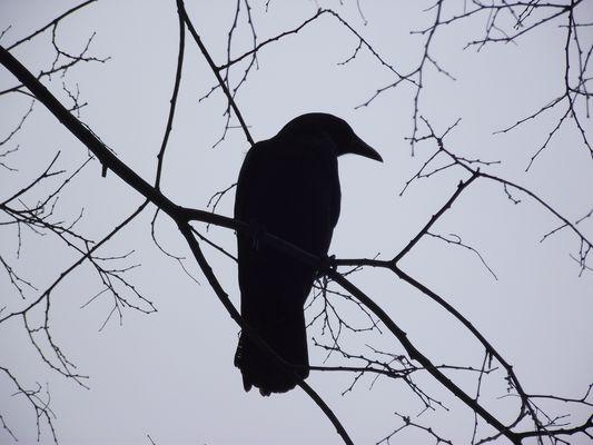 Corbeaux en contre-jour