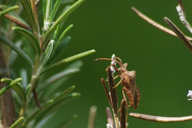 Coreidae (Leaffooted Bugs)