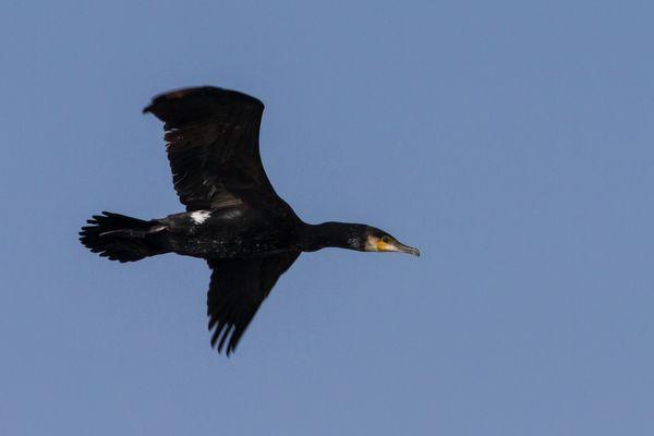 Cormoran au large de la Grande Motte (3 mars 2013)