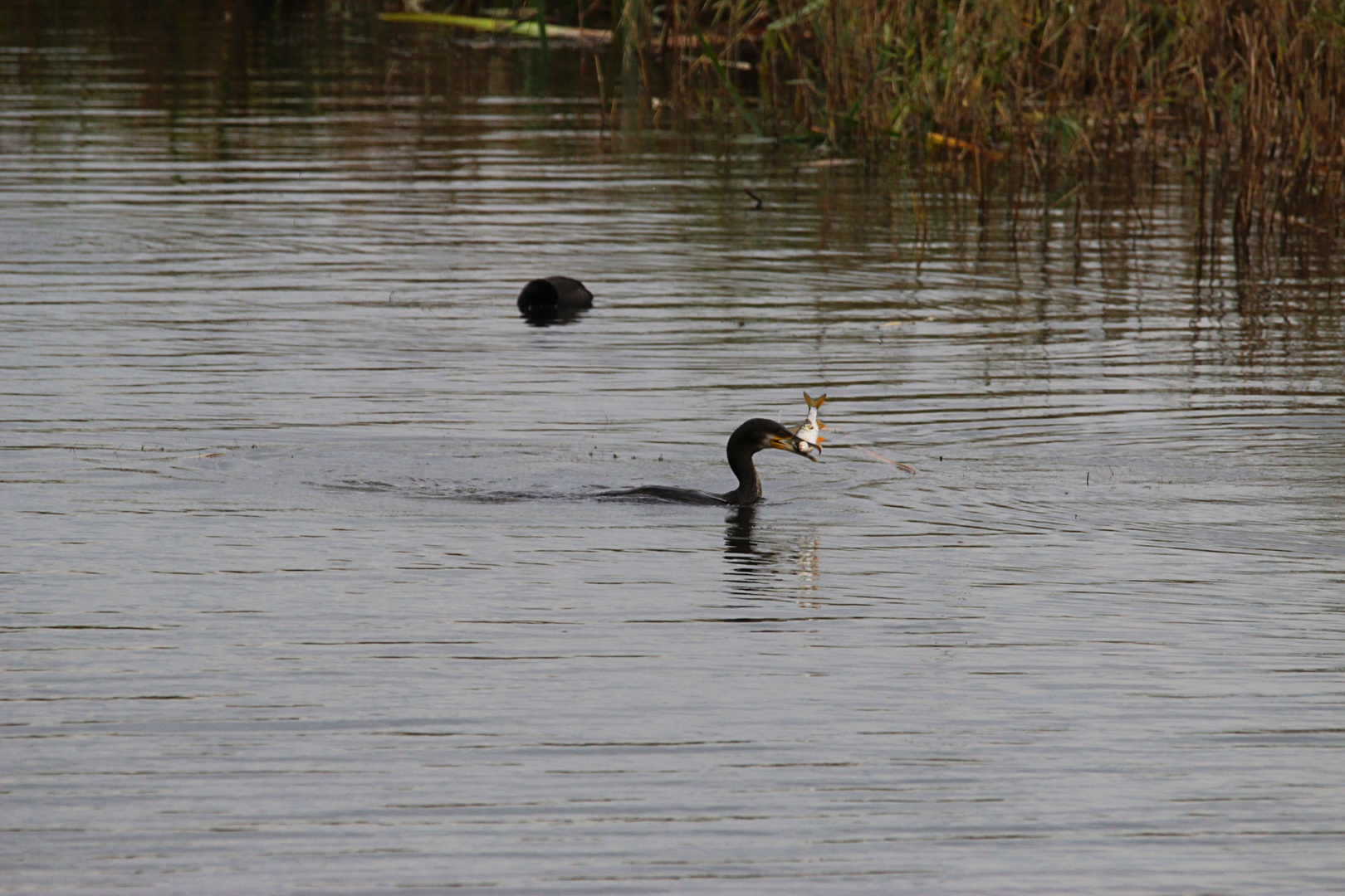 Cormoran Beim fischen