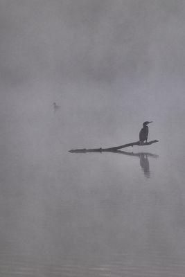 Cormoran dans la brume