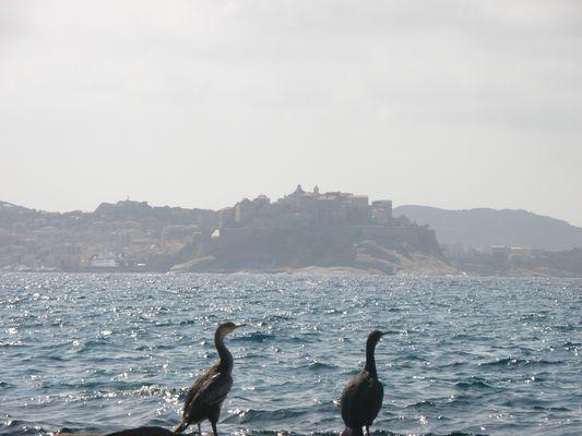 Cormoran et la citadelle de Calvi