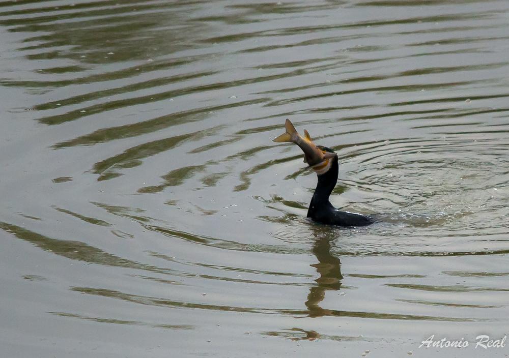 Cormoran (Phalacrocorax carbo), de pesca.