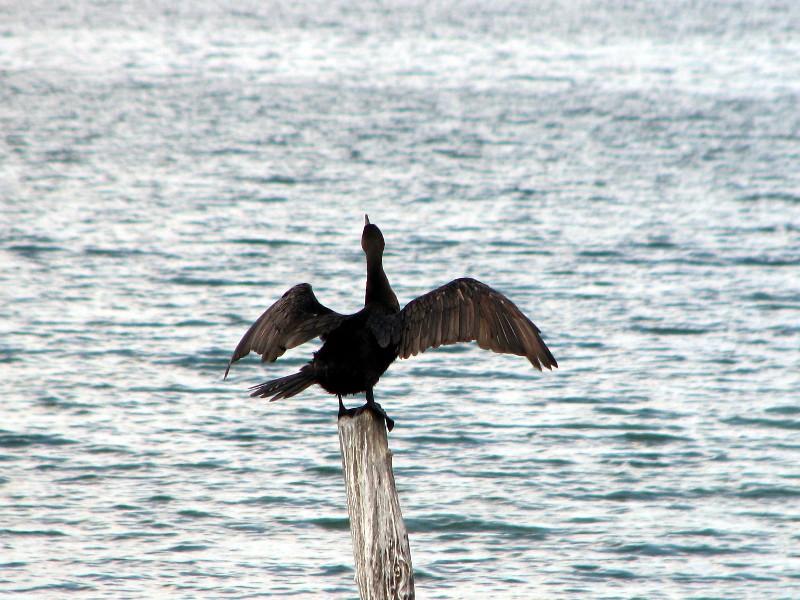 cormoran sèchant ses ailes au soleil