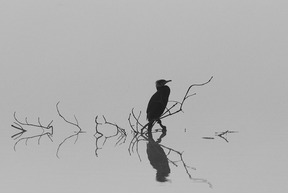 Cormoran sur la Rance