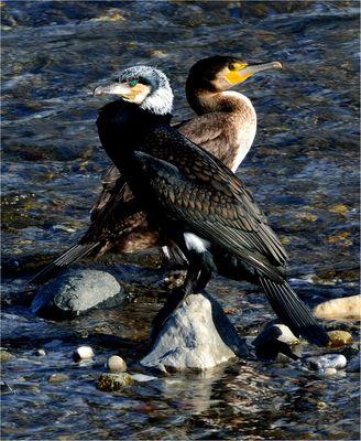 Cormorani alla foce del fiume Entella.