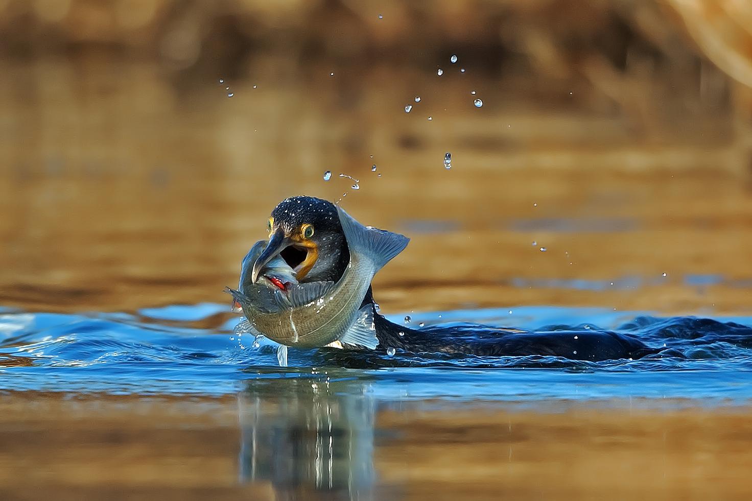 Cormorano con spigola