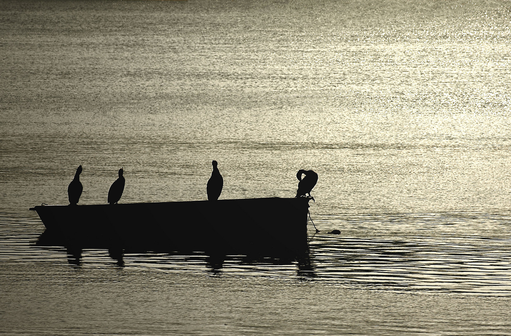 cormorans hossegor