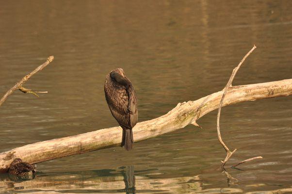 cormorant endormi