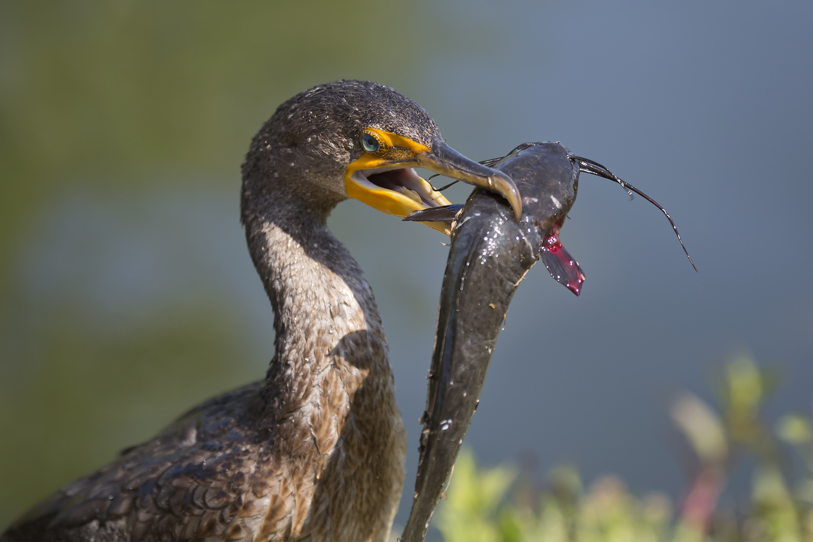 Cormorant with Catch II