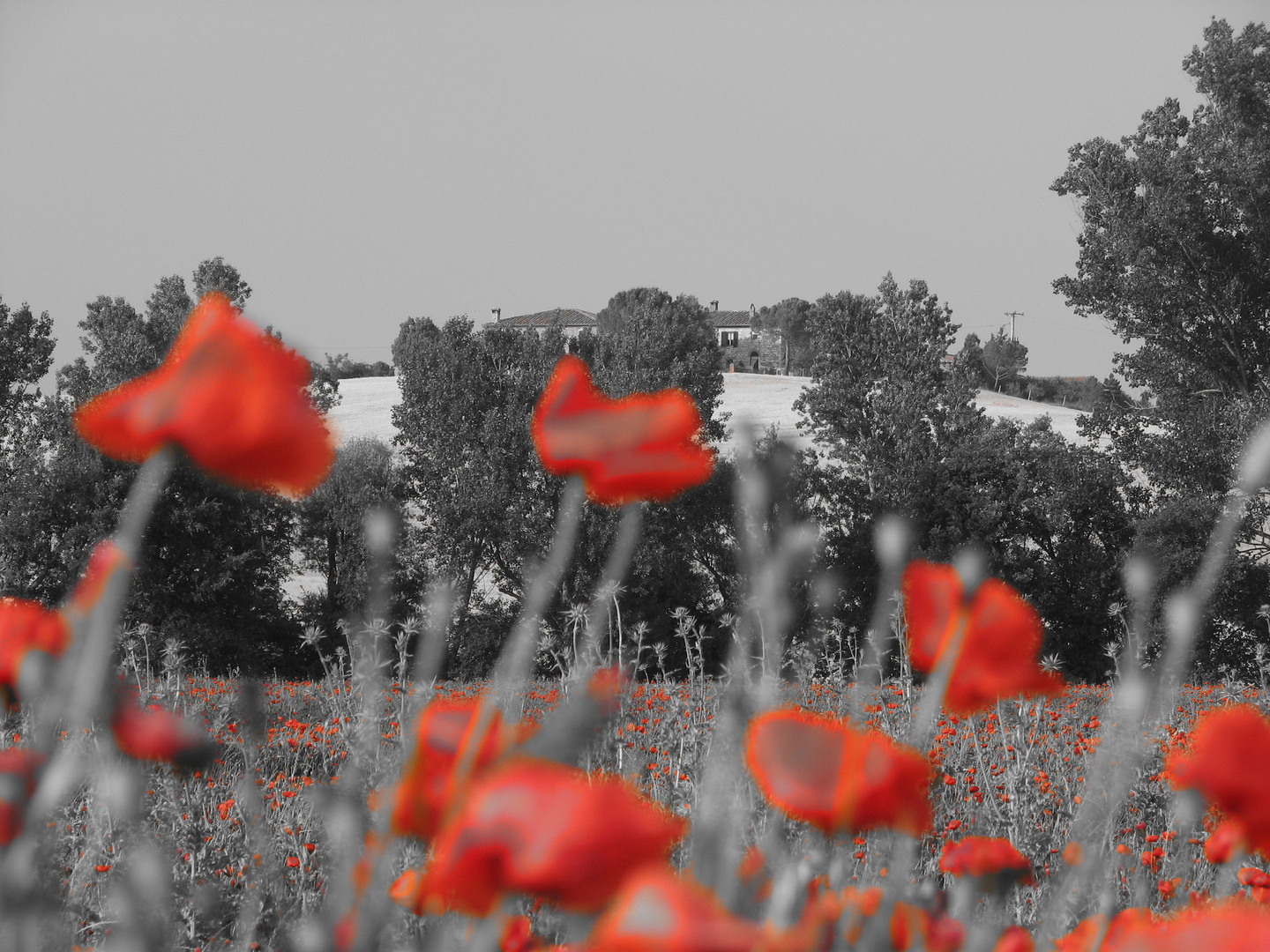 corn poppies in front of tuscany hill