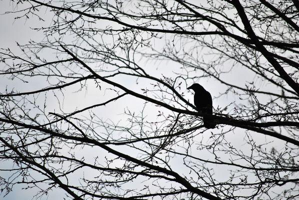 Corneille sur un arbre perché ...