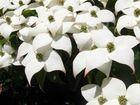 Cornus florida, der Blumenhartriegel