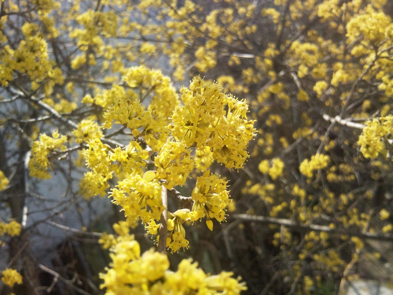 Cornus (genus) Zoğal ağacı