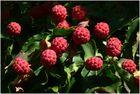 Cornus kousa (Jap. Blumen Hartriegel)