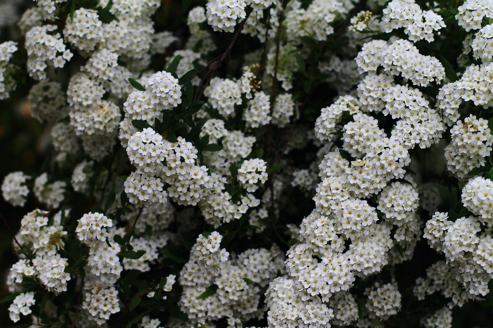 Corona de novia (Spiraea cantoniensis)