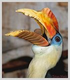 Corrugatus/Hornbill