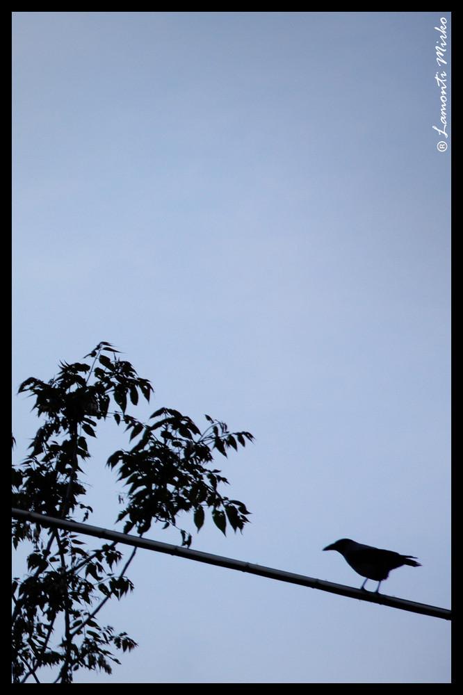 .. corvo ...