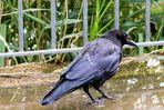 Corvus Corax Kolkrabe oder ? Auflöung: Rabenkrähe