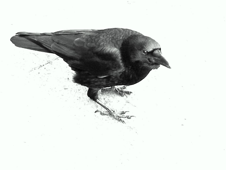 Corvus corone ( Hugin )