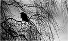 Corvus @ Salix