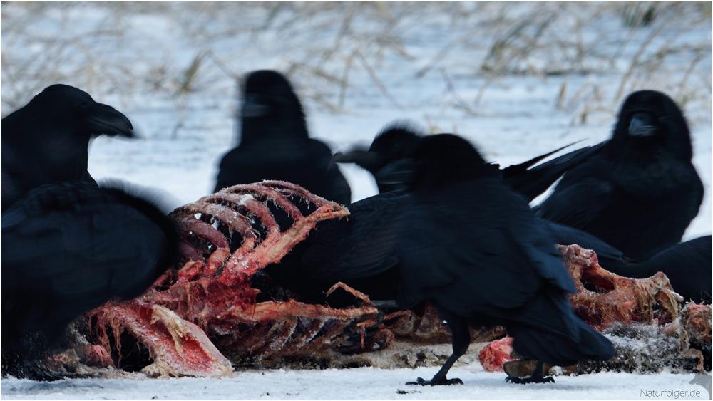 Corvus thorax