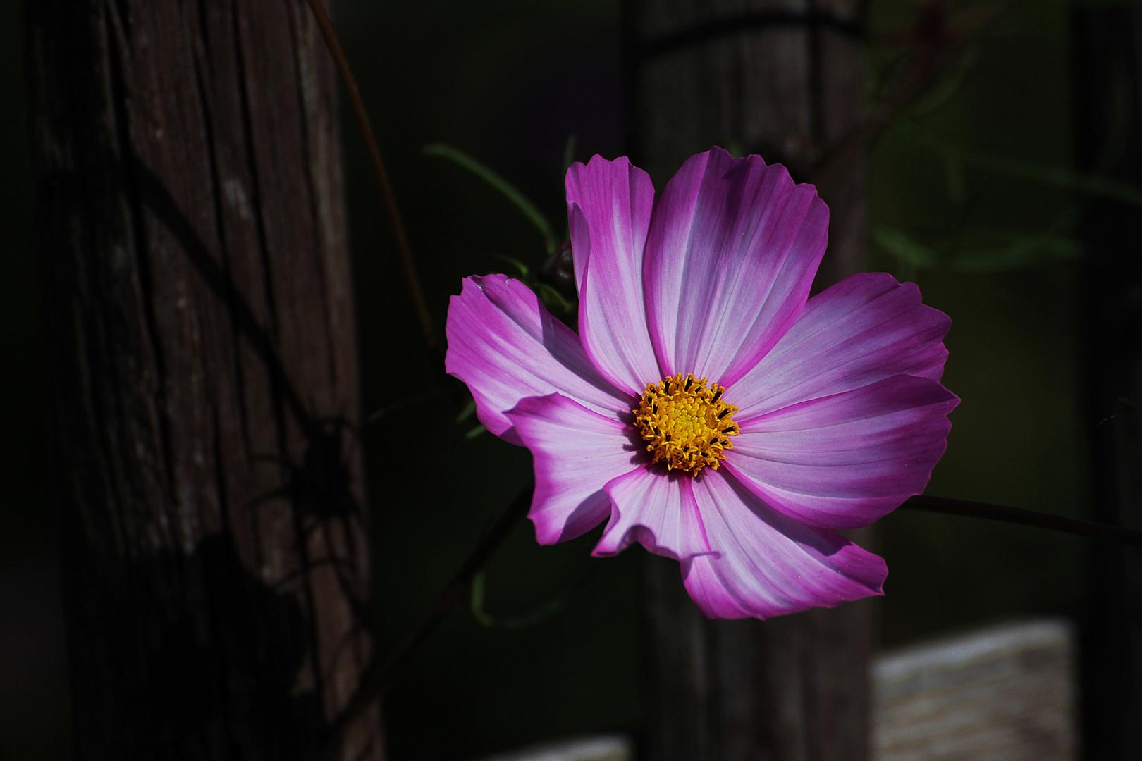 Cosmea - ein wahrer Schmuck im Garten