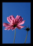 Cosmea in der Abendsonne