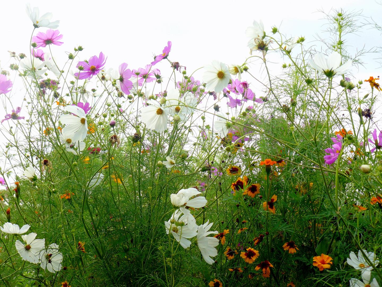 Cosmeen und andere Blumen
