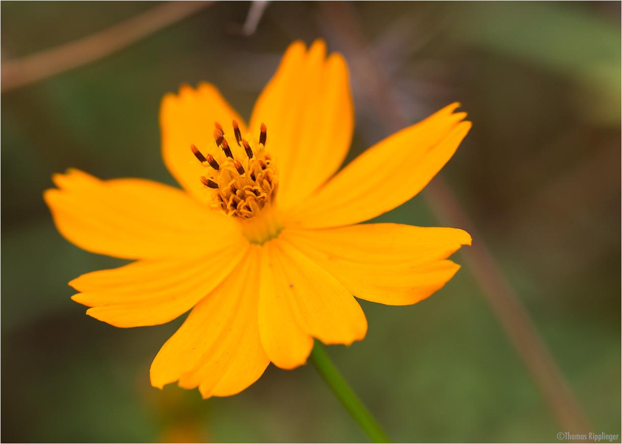 Cosmos (Cosmos sulphureus).