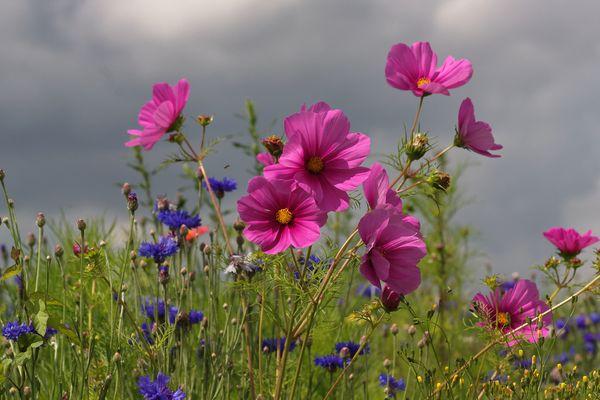 Cosmos dans une jachère fleurie