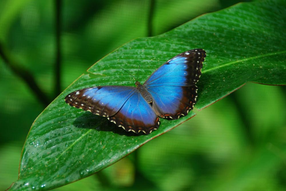 Costa Rica; Blue Morpho