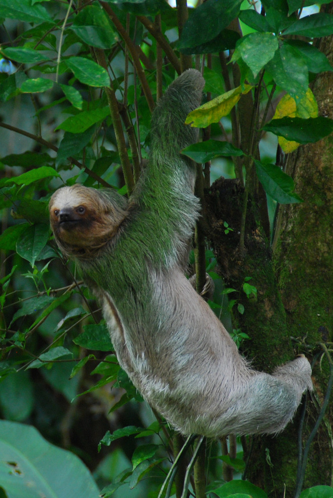 Costa Rica, dreifingeriges Faultier
